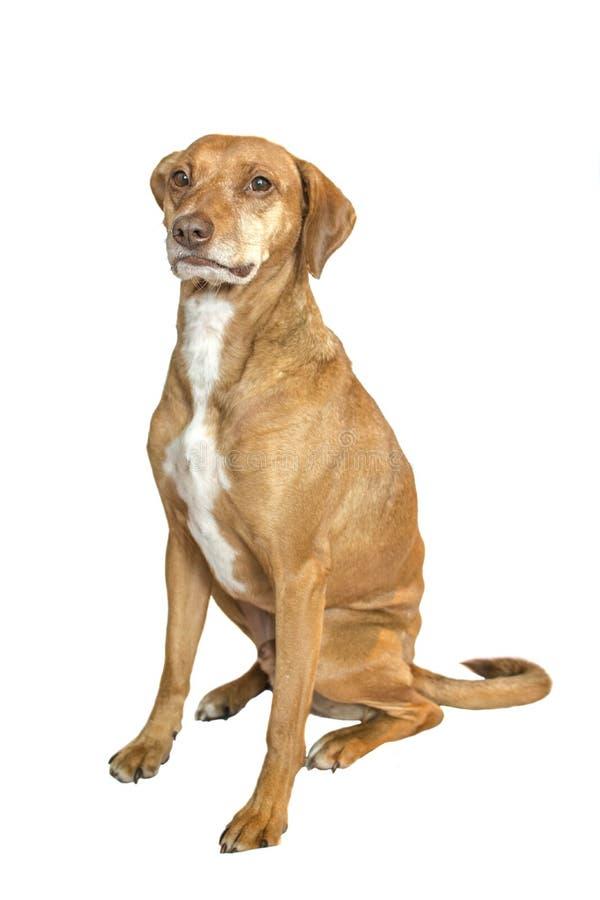 Hond het stellen voor goedkeuring stock afbeelding