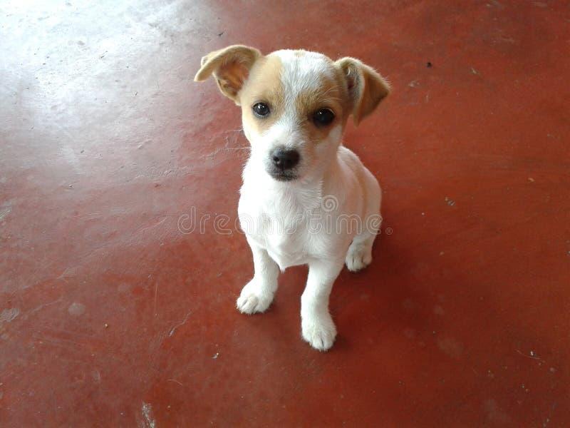 Hond; huisdier; van een hond; puppy stock fotografie