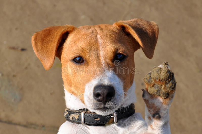 Hond, Jack Russell royalty-vrije stock foto