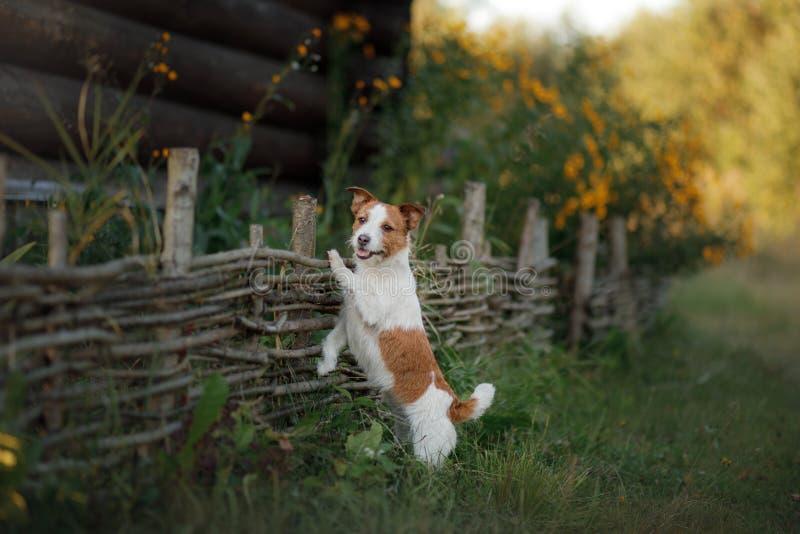 Hond Jack Russell Terrier bij de houten omheining in de tuin stock foto's