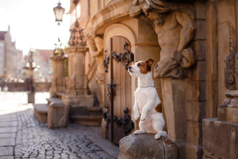 Hond Jack Russell Terrier in de oude stad stock afbeelding