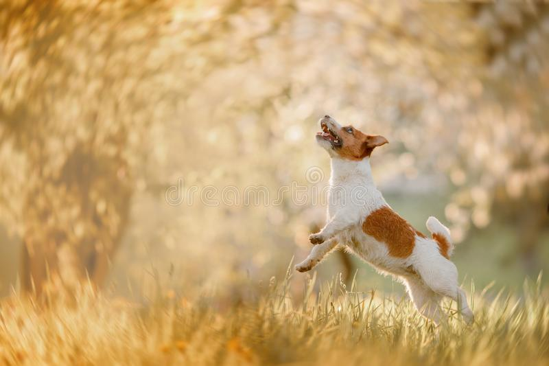 Hond Jack Russell Terrier die in het gras springen royalty-vrije stock afbeelding