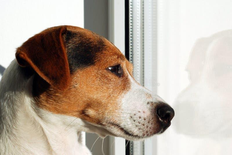 Hond Jack Russell Terrier die op het venster kijken stock fotografie