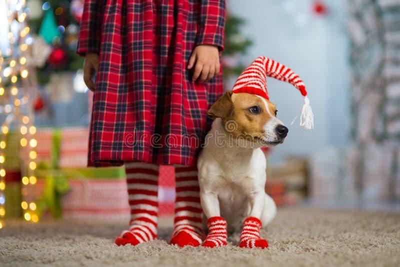 Hond Jack Russell Terrier en benen van een klein meisje in rood wit stock afbeelding
