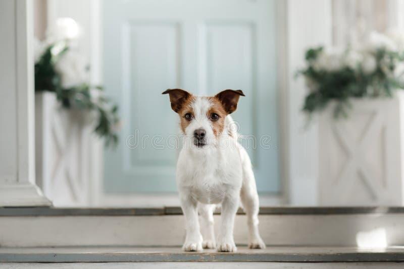 Hond Jack Russell Terrier op de portiek stock foto