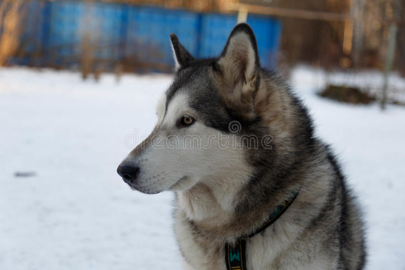 Hond Malamute Van Alaska stock afbeelding