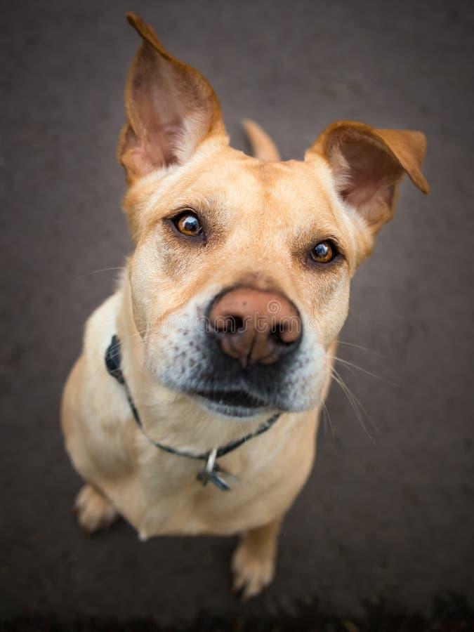 Hond met afluisteraar en een grappige uitdrukking op zijn gezicht royalty-vrije stock fotografie