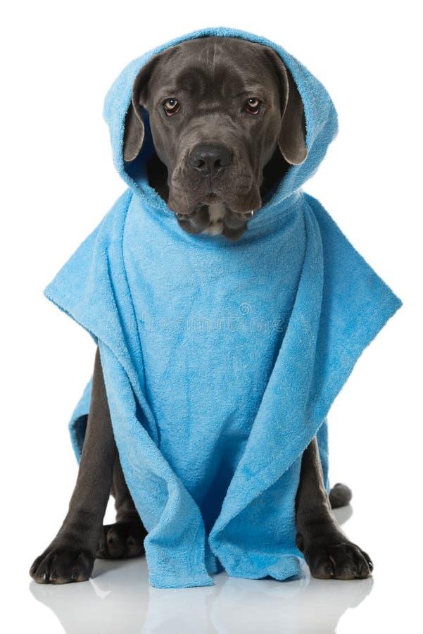 Download Hond met badjas stock afbeelding. Afbeelding bestaande uit hond - 54089689