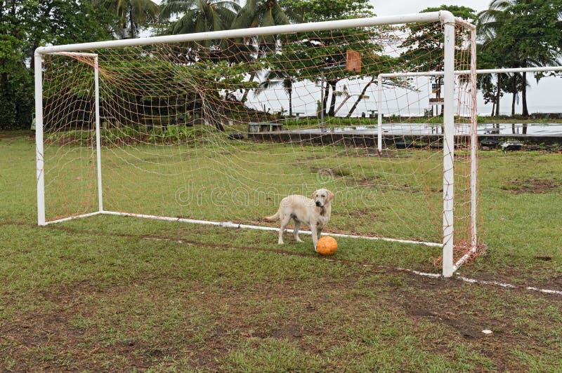 Hond met bal in voetbaldoel op het voetbalgebied van de stad van Tortuguero, Costa Rica royalty-vrije stock fotografie