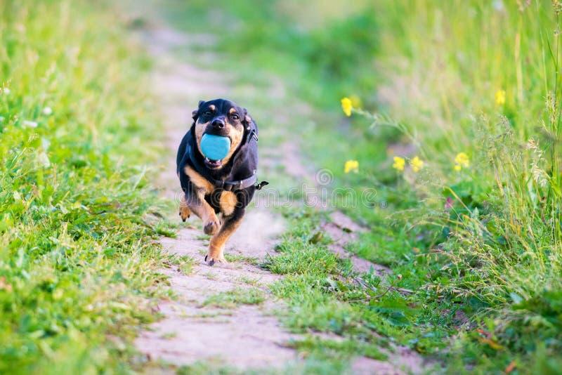 Hond met bal in werking die wordt gesteld die stock afbeeldingen
