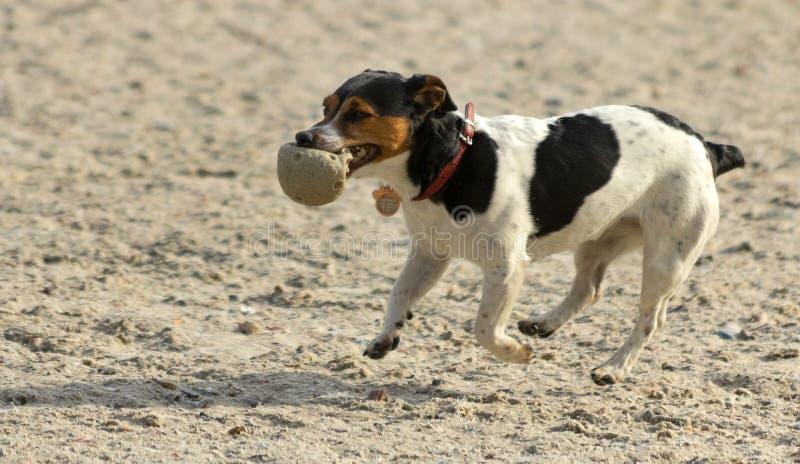 Hond met een bal stock afbeelding