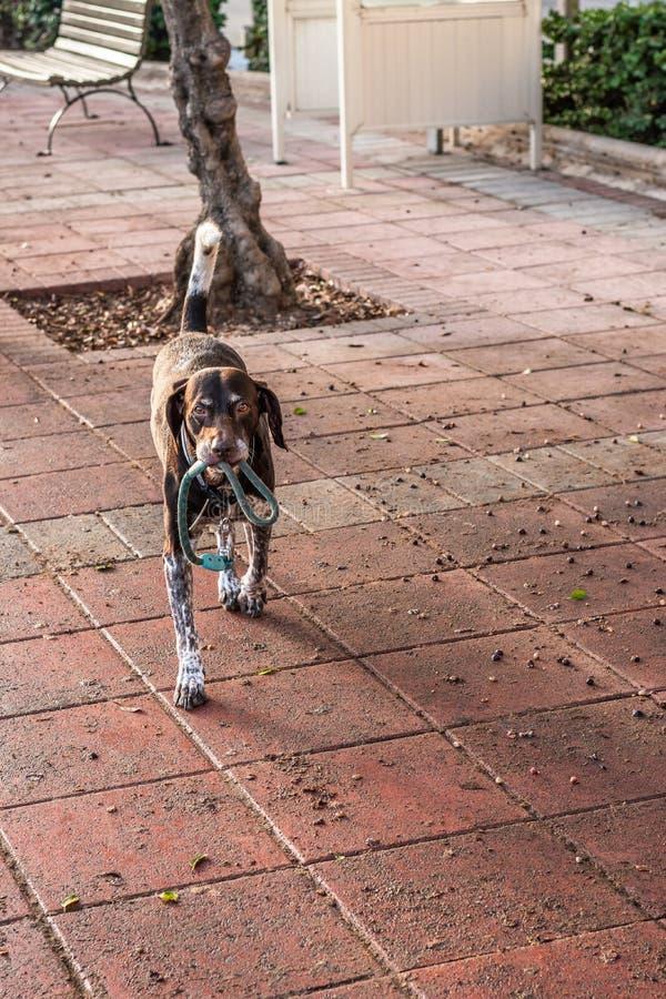 Hond met een Ketting in Zijn Mond royalty-vrije stock afbeeldingen