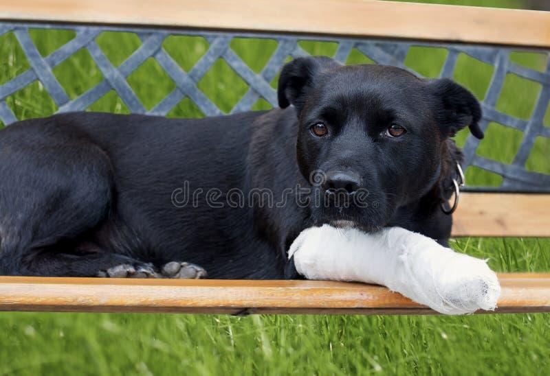 Hond met gebroken been royalty-vrije stock afbeeldingen
