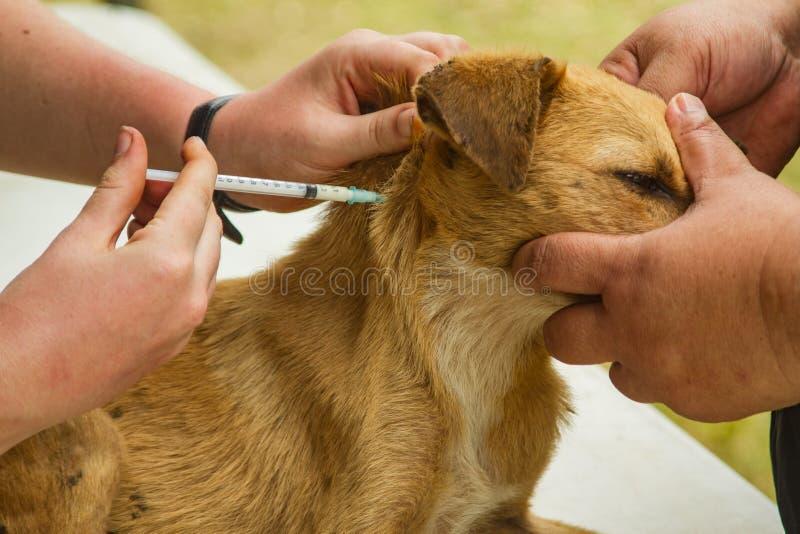 Hond met geneeskunde wordt ingespoten om ziekte te genezen die stock afbeelding