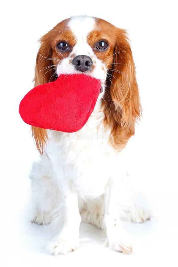 Hond met hart Arrogante van de het spanielvalentijnskaart s van koningscharles de dagillustratie Pluche rood hart met spanielpupp stock foto
