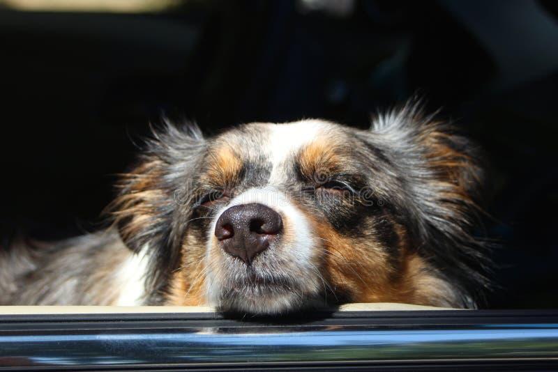 Hond met Hoofd uit Autoraam royalty-vrije stock afbeelding