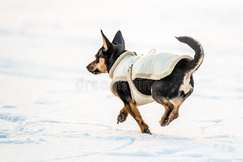 Hond met kleren op sneeuw in werking die worden gesteld die royalty-vrije stock afbeelding