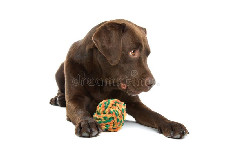 Hond met kleurrijke bal stock foto