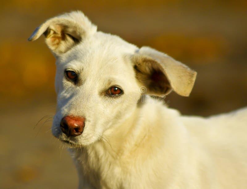 hond met kort wit haar en zwarte ogen royalty-vrije stock foto's