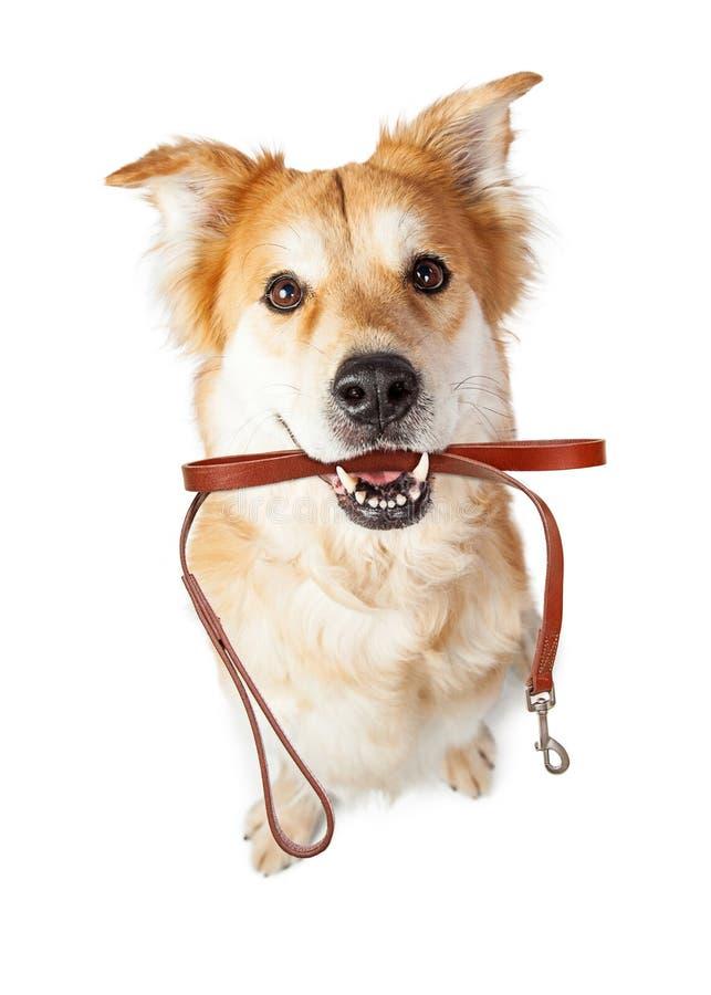 Hond met Leiband in Mond voor Gang wordt opgewekt die royalty-vrije stock afbeelding