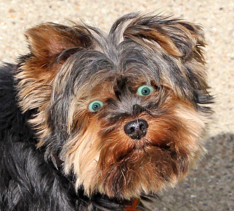 Hond met menselijke uitdrukking stock fotografie