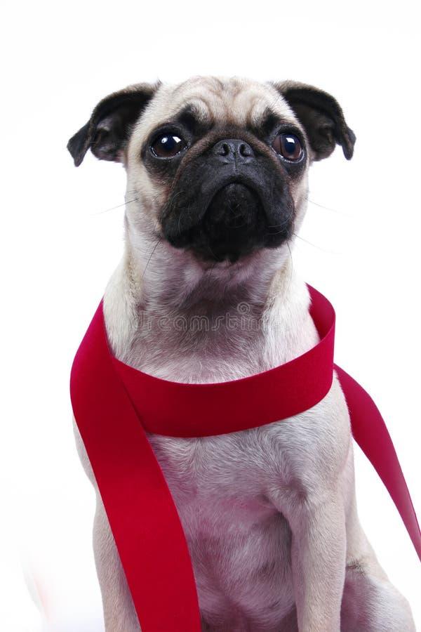Hond met Rood Lint stock afbeeldingen