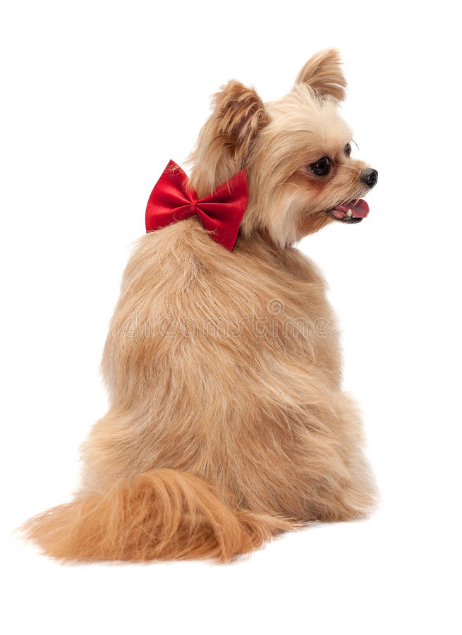 Download Hond met Rood Lint in Rug stock foto. Afbeelding bestaande uit doek - 39116078