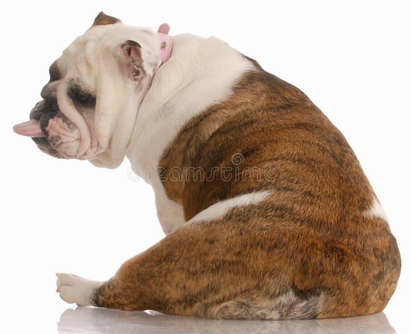 Hond met slechte houding stock foto
