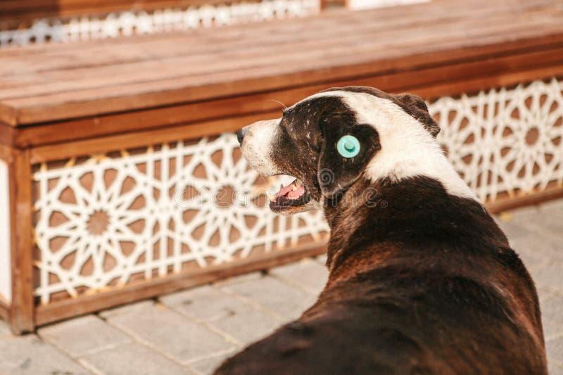 Hond met spaanderimplant op het het oor van ` s royalty-vrije stock foto's