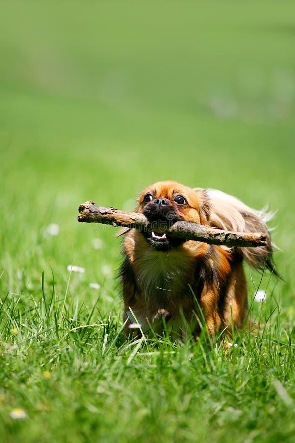 Hond met stok stock fotografie