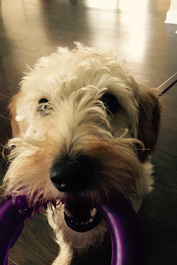 Hond met stuk speelgoed stock foto