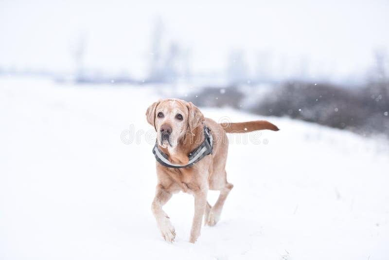 Hond met witte achtergrond in de sneeuw royalty-vrije stock afbeeldingen