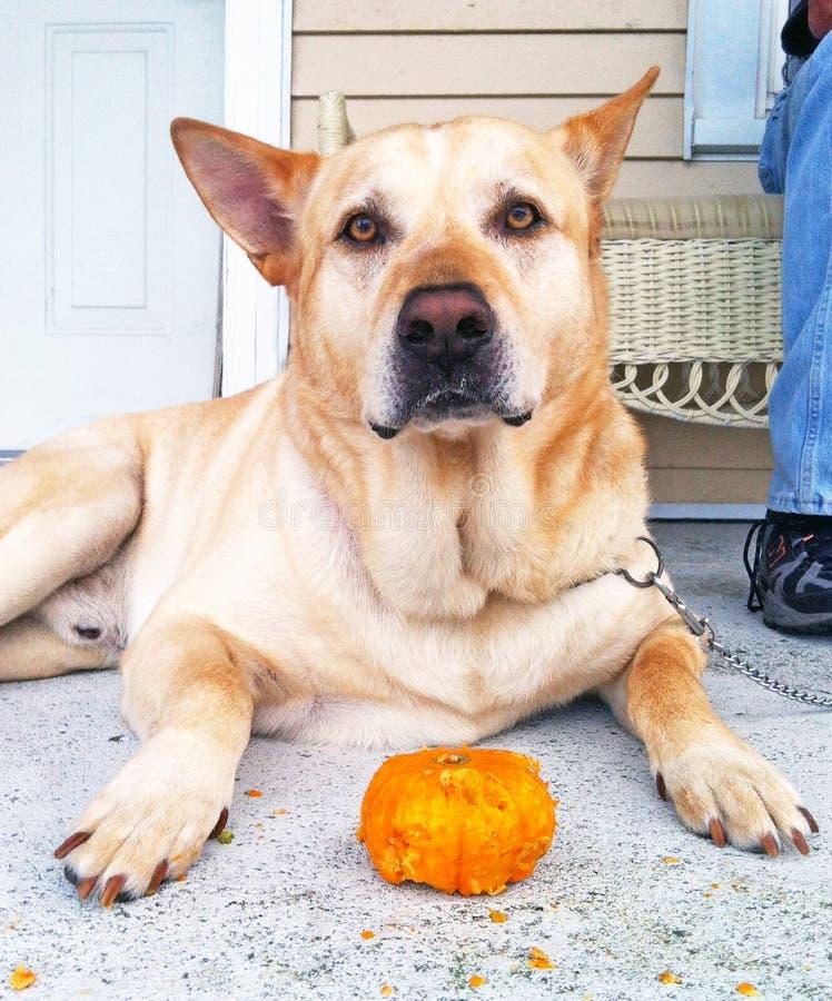 Hond met zijn pompoen royalty-vrije stock foto's