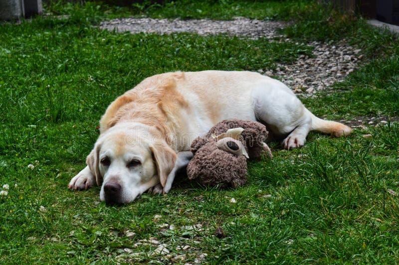 Hond met zijn stuk speelgoed stock afbeeldingen