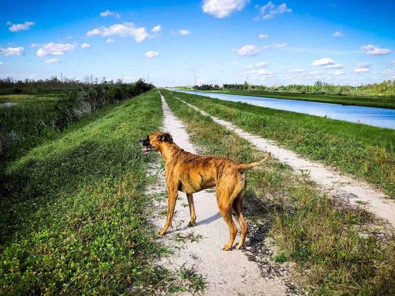 hond in moerassen van Florida stock fotografie