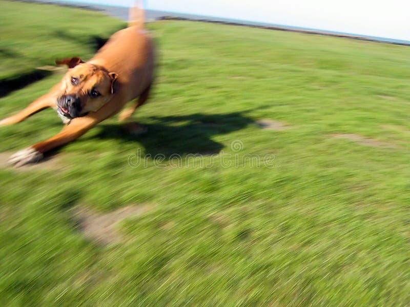 Hond in motie 2 stock afbeeldingen