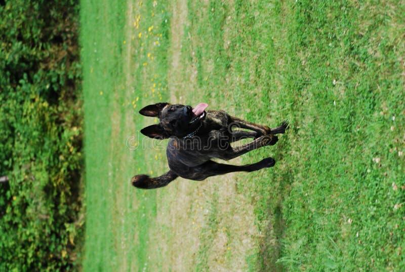 Hond in Motie royalty-vrije stock afbeeldingen