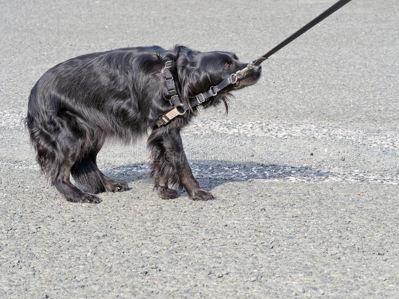 Hond niet scherp bij het zien van dierenarts, dierenarts Het weigeren, het verzetten zich tegen stock afbeelding