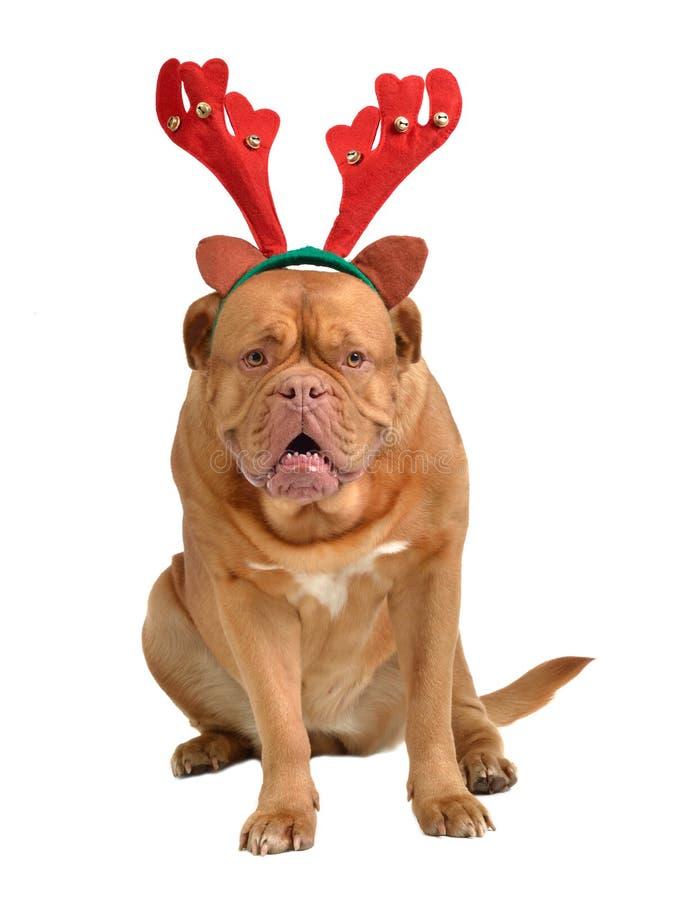 Hond omhoog gekleed als rendier stock foto