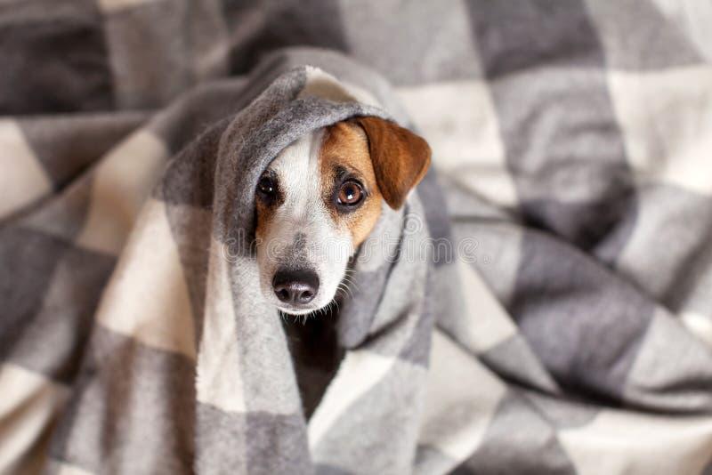 Hond onder een plaid royalty-vrije stock afbeelding