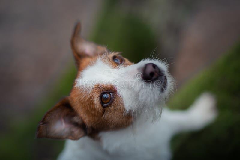 Hond op de aard in bosjack russell terrier op een gang Actief huisdier royalty-vrije stock afbeeldingen