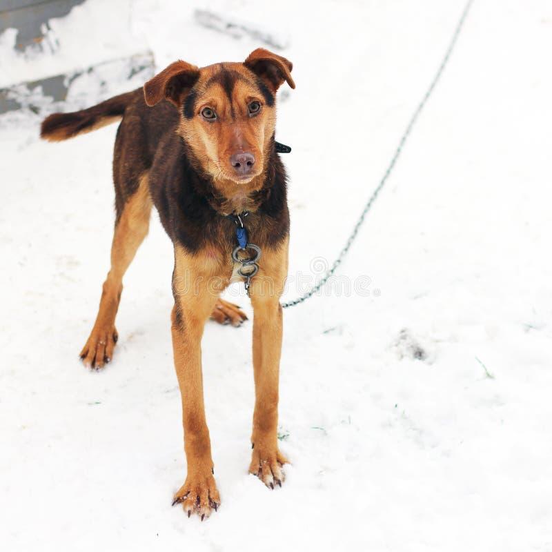 Hond op de straat De sneeuwwinter stock afbeelding