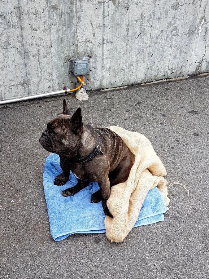 Hond op de straat in Zwitserland stock afbeelding