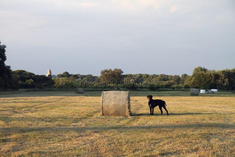 Hond op een gebied royalty-vrije stock foto