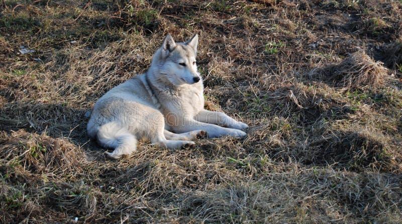 Hond op een gras royalty-vrije stock afbeelding