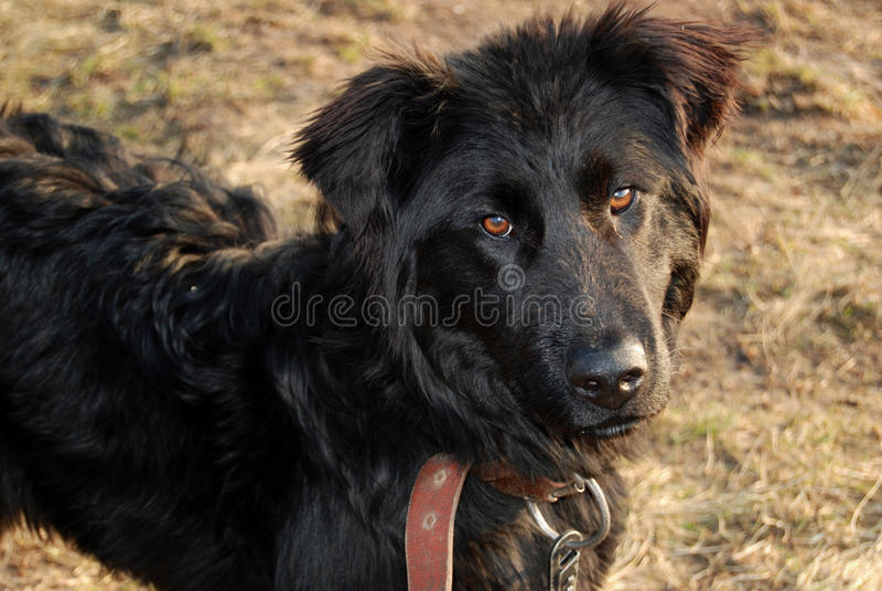 Hond op een gras royalty-vrije stock foto
