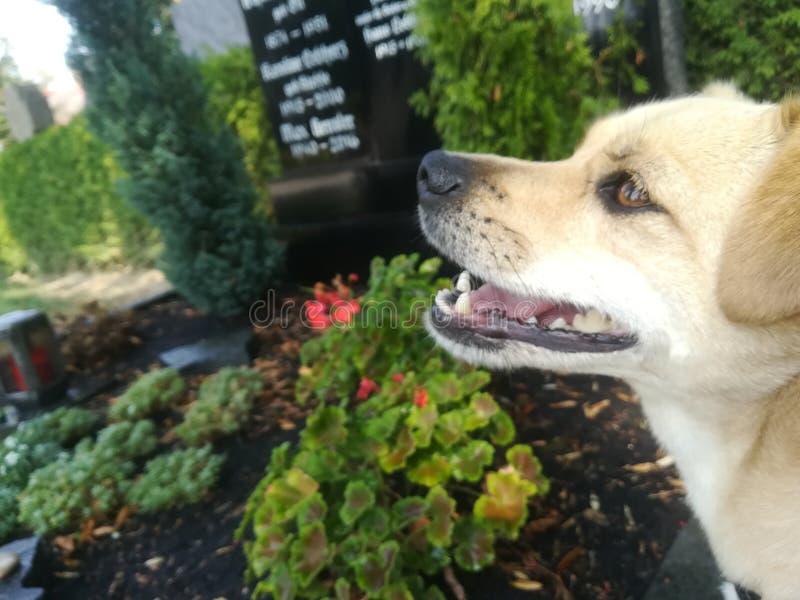 Hond op een kerkhof stock afbeelding