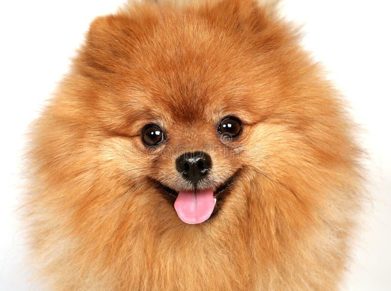 Hond op een witte achtergrond stock foto