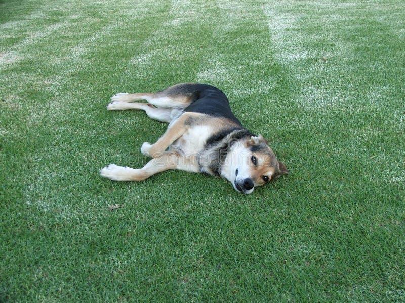 Hond op gazon stock foto