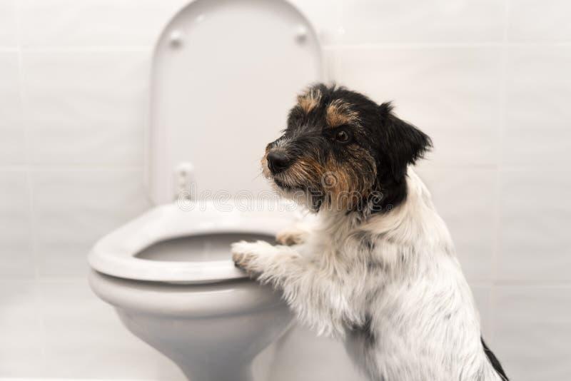 Hond op het toilet - Jack Russell Terrier stock foto
